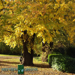 melview-autumn-tree2-250